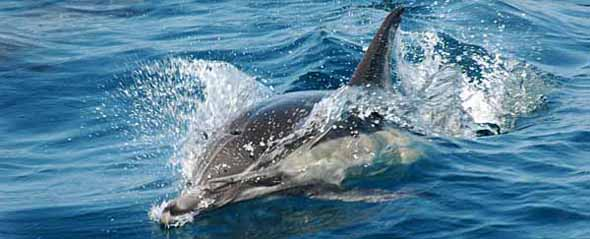 White sided dolphin