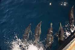 Dolphins ride the bow of boat <em>Clearwater</em>