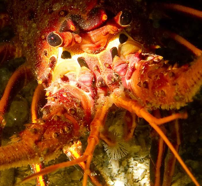 California coastal lobster, underwater
