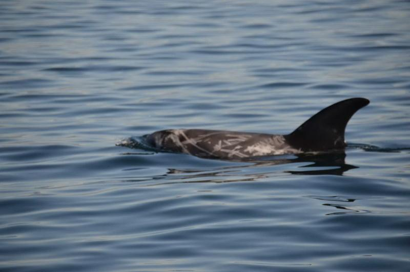 Young Risso's Dolphin
