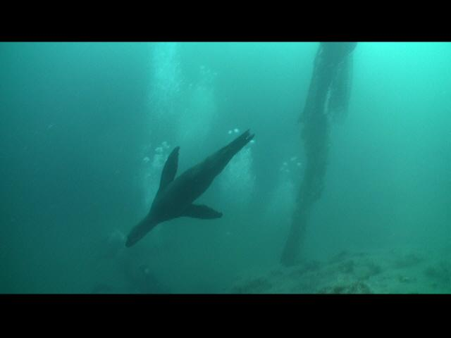 Sea Lion dives near the debris site. We must clean ocean debris away in order to protect these beautiful creatures!