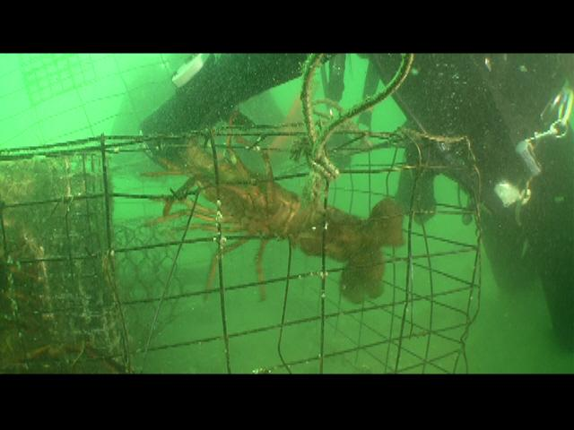 ODA Dive Crew releases lobster from trap