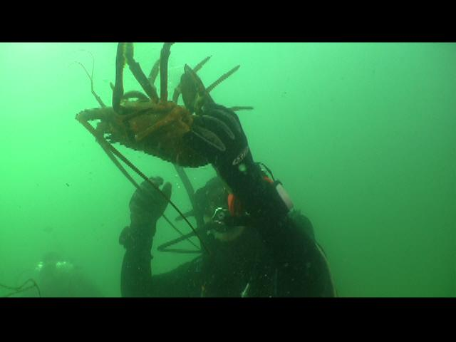 ODA Dive Crew releases lobster from trap, almost free!