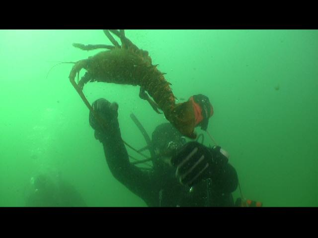 ODA Dive Crew releases lobster from trap, swims free!