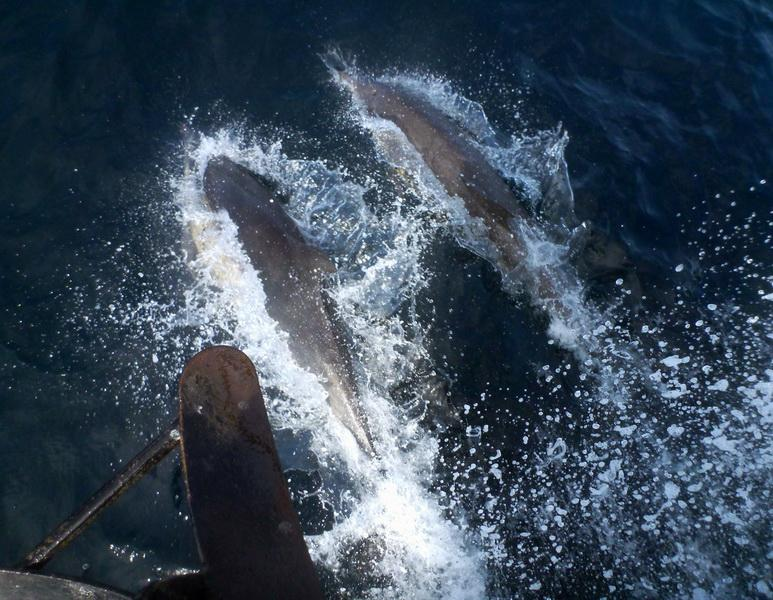 Dolphins bow-riding on the <em>Clearwater</em>