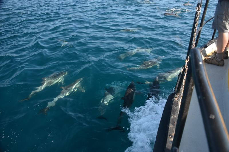 Dolphins ride the bow of our ocean-cleaning boat. The crew gets a treat!
