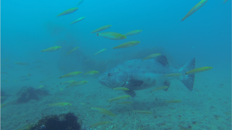 Giant sea bass in California waters
