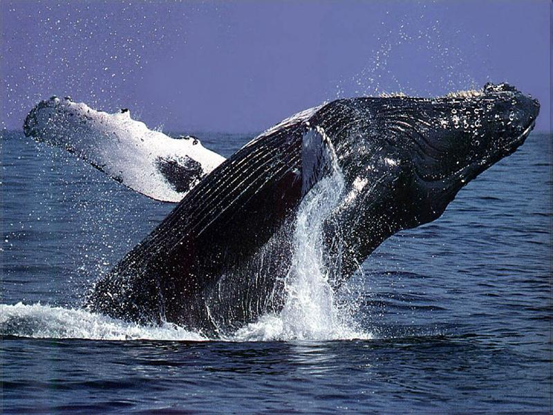 Ocean Defenders of humpback whales