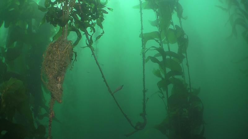 Lobster trap line in kelp forest