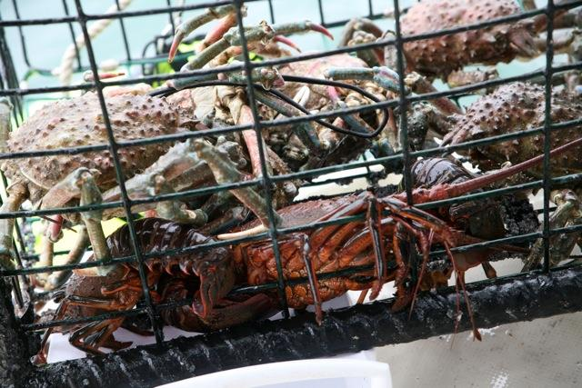 Lobsters and crabs stuck in lobster trap