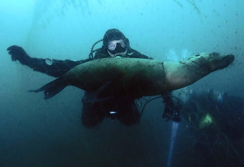 An ODA diver with a dead sea lion killed by abandoned drift netting