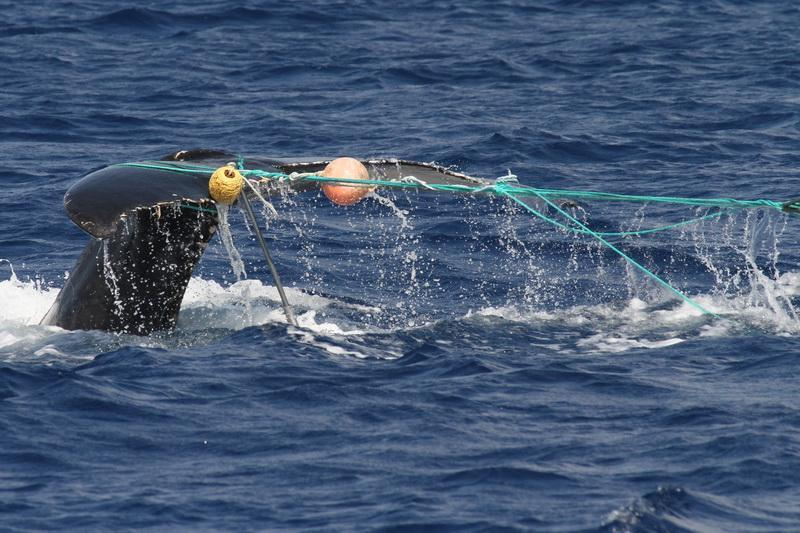 Whale entangled in fishing line