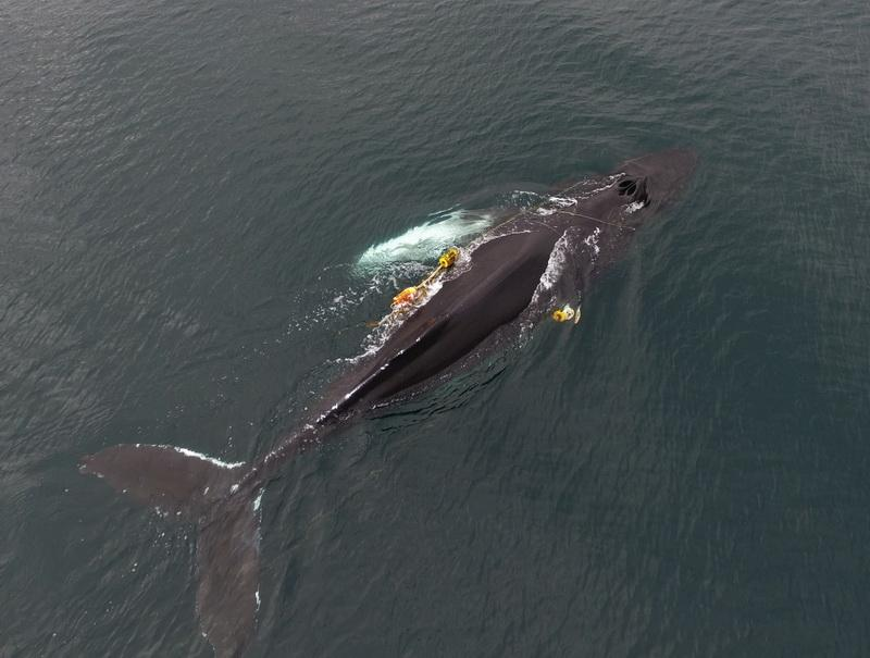 See the yellow fishing lines entangled around this humpback whale