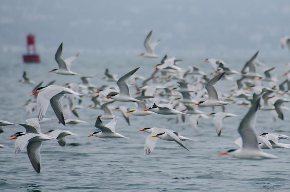Orange County Caspian Terns in flight