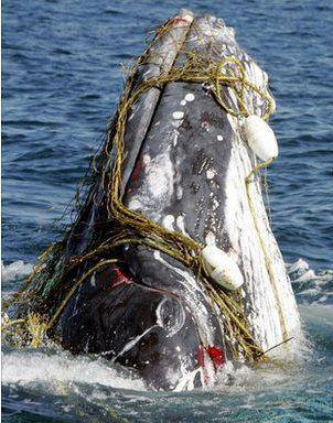 whale head caught in fishing lines