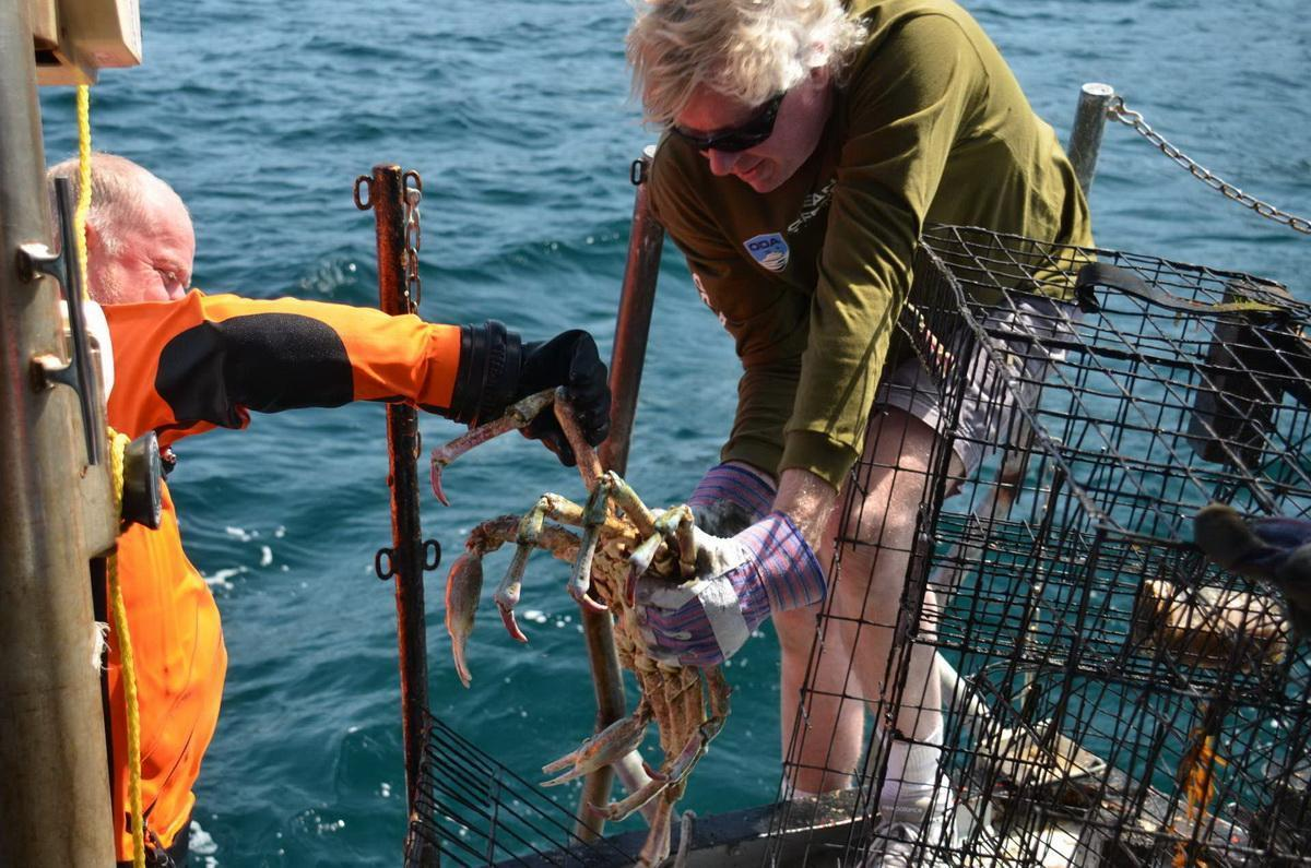 Releasing trapped Sheeps Crab