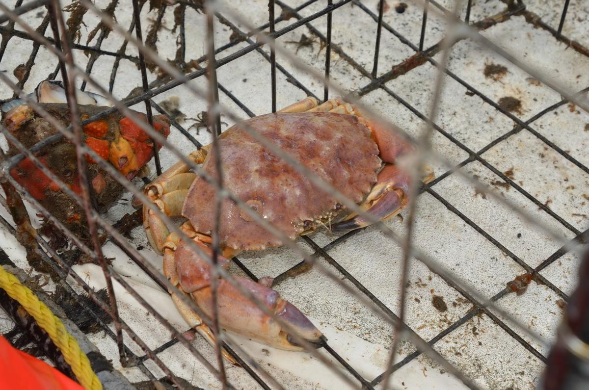 Crab in jail