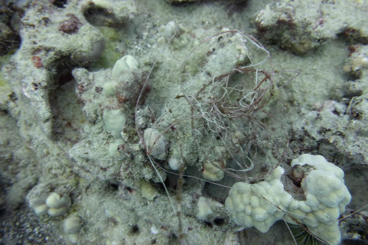 Fishing line entangled on coral