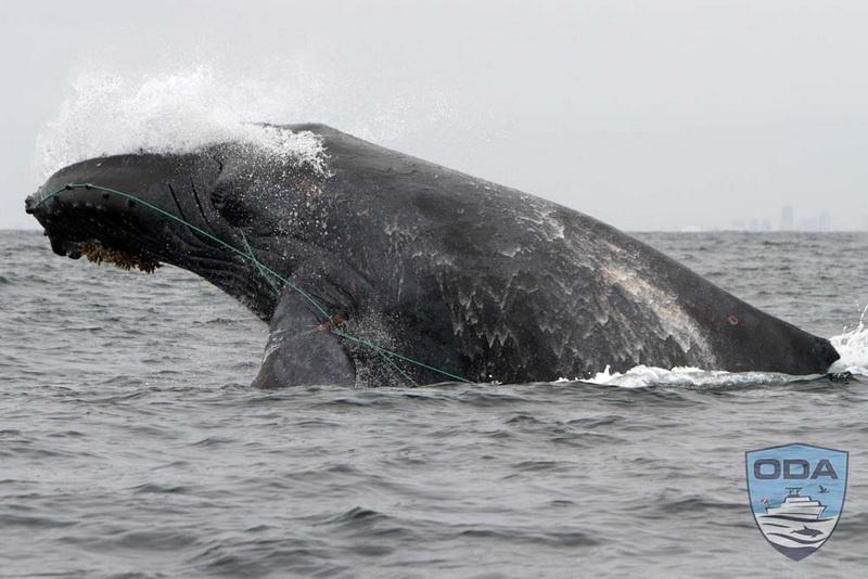 entangled whale